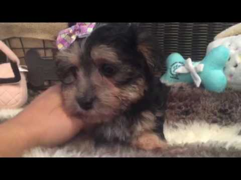 Perfect lap dog, Morkie puppy