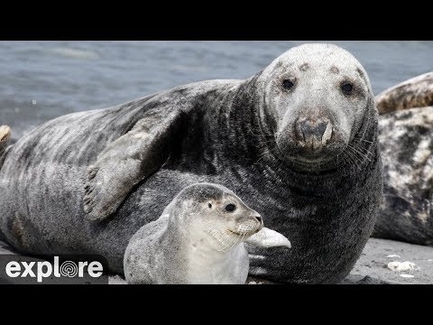 Kegelrobben - Gray Seals - Pupping Cam (Seal Islan ...