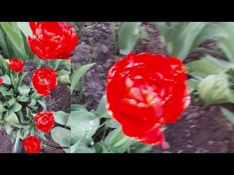Foto no dārziem Kārķu pagastā tulpju ziedēšanas laikā