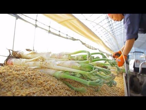 ウドの収穫が始まる 豊岡市但東町