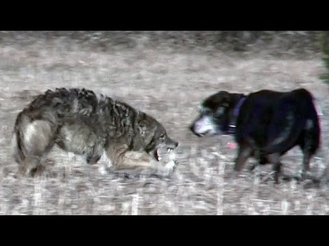 Coyote attacks unleashed pet dog.mpg