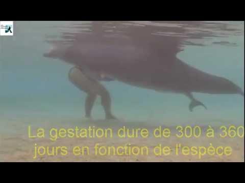 Avez vous déjà vu la naissance d'un delphineau ? Superbes images….