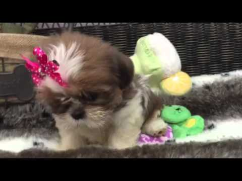 Doll face Shih Tzu baby girl