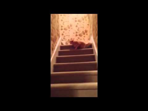 Cutest Chihuahua Fails Majorly at Walking Up the Stairs