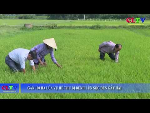 Gần 100 ha lúa bị bệnh lùn sọc đen cần phải tiêu hủy