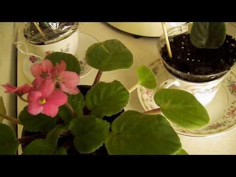African Violet Plants – Indoor Gardening