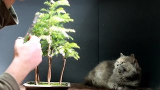 Pruning to create a miniature Norfolk Island Pine. I think it can be done! Time will tell.