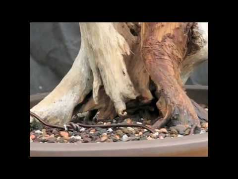 Bonsai Demonstration - A garden juniper becomes a bonsai tree Part 2