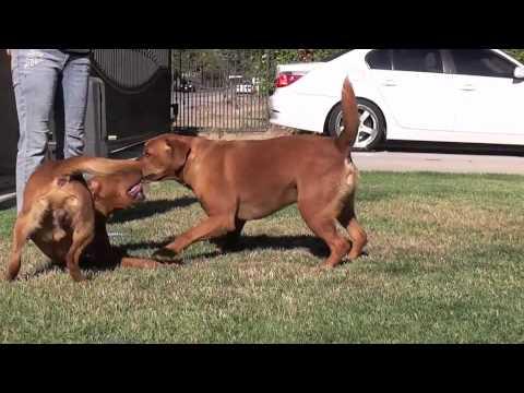 www.SusanaLabradors.com Fox Red Labrador Video