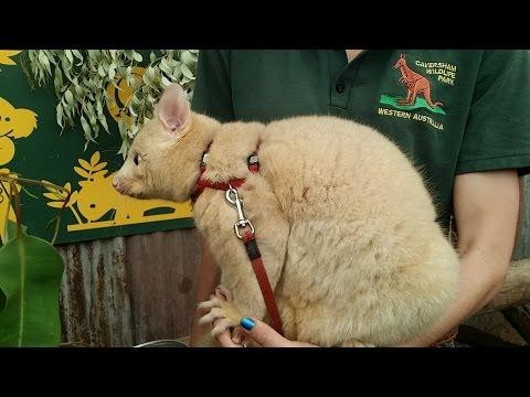 Животные Австралии: опоссумы, вомбат, лесной дракон