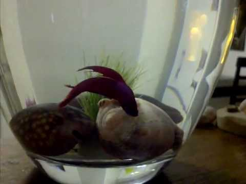 pinky, my betta fish