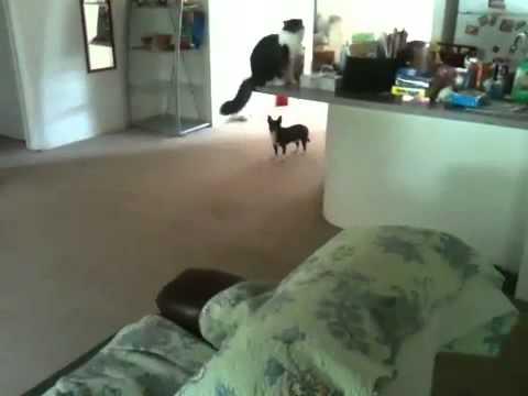 3 minute chihuahua