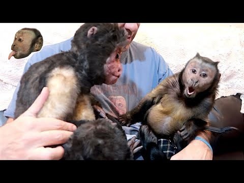 Capuchin Monkey & CuddleClone Buddies!