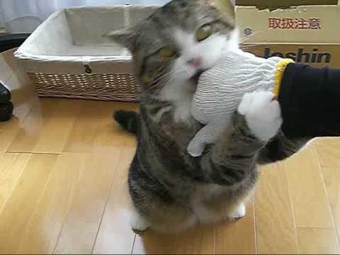 「[ネコ]軍手着用のときと素手のときで反応が違う猫。」のイメージ