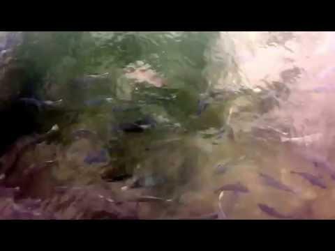 萩の明神池は、池なのに70cmクラスの真鯛など海水魚が…不思議池
