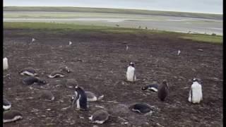 King Penguins and Gentoo Penguins. Bluff Cove, Falkland Islands #pttravel Music: 'Bushwick Tarantella' by Kevin MacLeod...