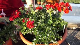 #396 Kübelbepflanzungen für sonnige Standorte (Verbene, Geranie, Dipladenia)