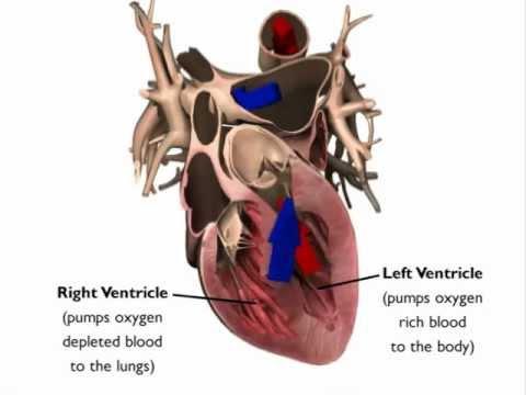 Image of Heart Animation: Heart Anatomy