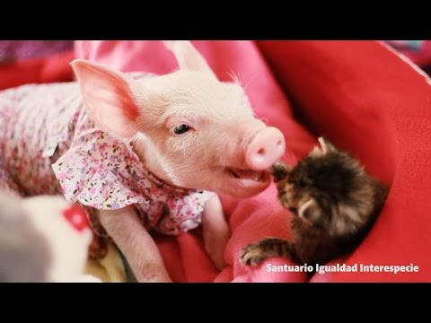 Piglet in a Dress Meets a Kitten