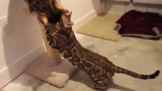 Video Breeding Bengals cats Bengal cat cats breed download in MP3, 3GP, MP4, WEBM, AVI, FLV January 2017