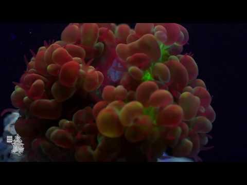 Corail fluo Plerogyra sp.