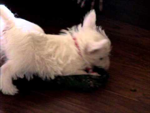 Westie baby girl AKC playing