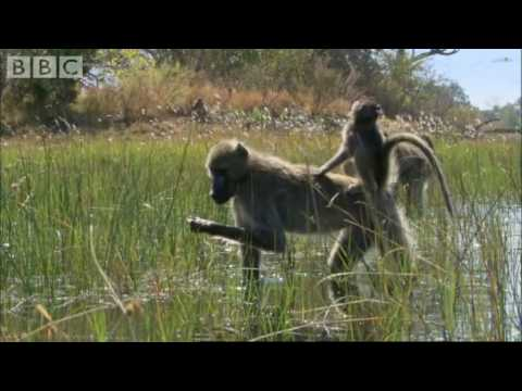 Baboons: Bbc Worldwide