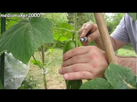 How To Double Your Cucumber Production?