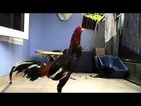Ayam bangkok asil