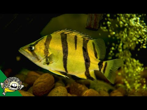 Freshwater Tiger Fish - Fish Store Shipment Unboxing