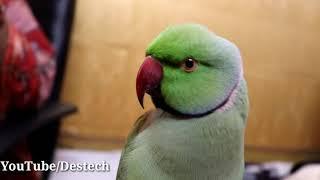 Video Yea video apne parrot ko dikhao aur bolna sikhao 👉👍👍 MP3, 3GP, MP4, WEBM, AVI, FLV Juni 2019