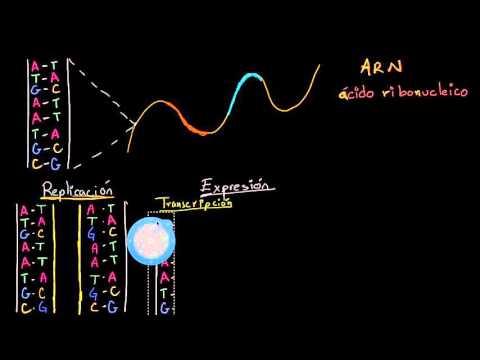 Replicación del ADN y transcripción y traducción del ARN (video ...