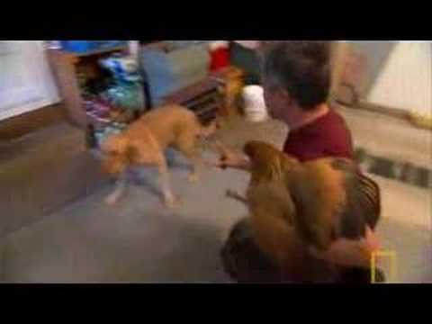 Dog Attacking Backyard Chickens - Training To Reduce Prey Drive