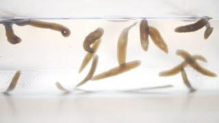 Could we use planarians to help us understand human regeneration?