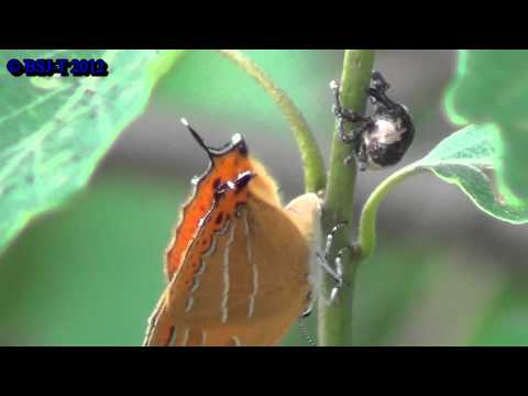 [HD] Ovipositional behavior of Orange Hairstreak (Japonica lutea)