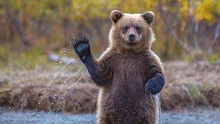 Эти забавные… Медведи…