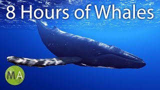 Download the Mp3 version at: http://www.mindamend.com/yt/8-hours-whale-sounds ▻ Subscribe to my channel and be updated ...