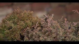 Örökzöldek lombjának téli színváltozása