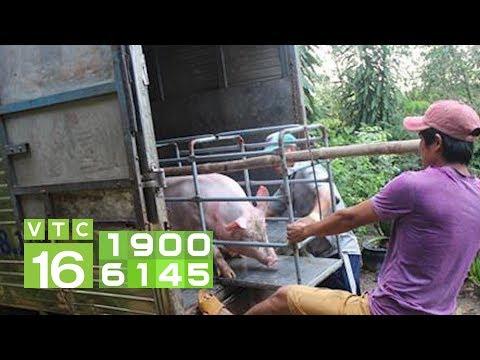 Ngang nhiên vận chuyển lợn vùng tâm dịch tả lợn Châu Phi | VTC16 - Thời lượng: 4 phút, 26 giây.
