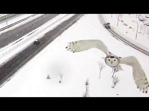 gufo delle nevi in volo ripreso da una telecamera del traffico!