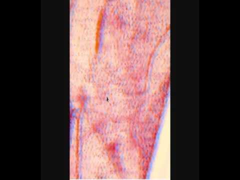 СОСУДЫ МИКРОЦИРКУЛЯТОРНОГО РУСЛА. Blood vessels. Гистологическое строение