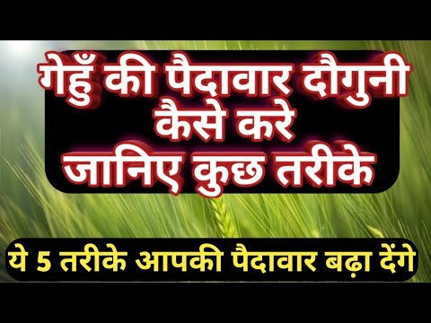 wheat cultivation process full details।how to increase wheat production।