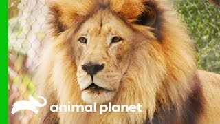 Vets Decide Whether To Operate On Lion With Kidney Tumor   The Zoo: San Diego by Animal Planet