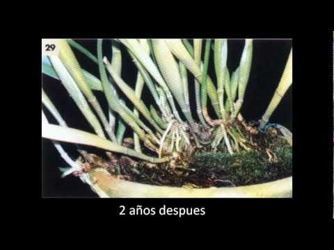 orquideas como reproduzir todas