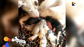 Let's Find This Mama Pittie A Home! | The Dodo Pittie Nation by The Dodo