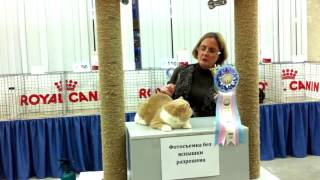 Best Cat In Show Exotic Male GC Parti Wai Ex Jackpot
