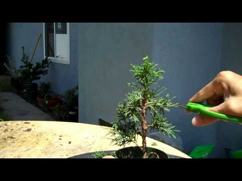 How to create bonsai: Miniature Bonsai Shimpaku Juniper formal upright.mp4