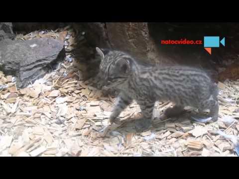 Kočka slaništní s koťátky v jihlavské zoo 3.8.2015