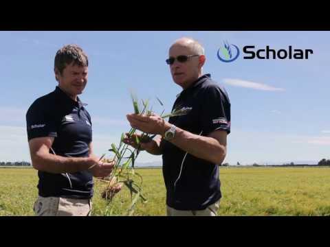 Scholar - Feed Barley