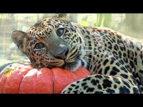The Big Cats at the Zoo Are Already Celebrating Halloween!